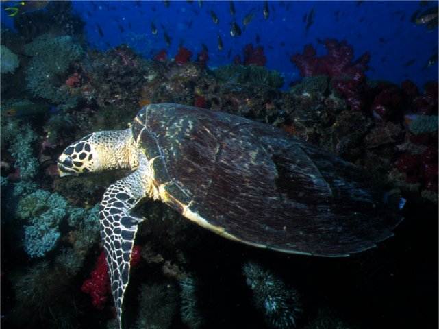 Turtle on the Yongala