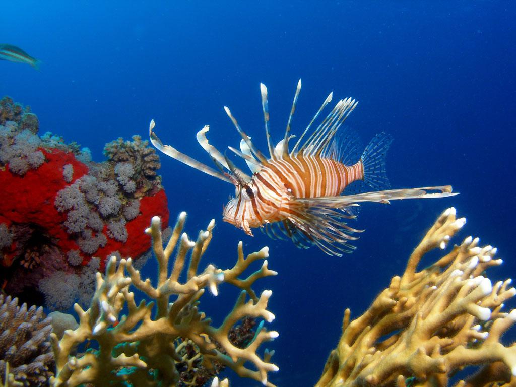 Lionfish Begin Invasion Into Mediterranean Sea Cyprus