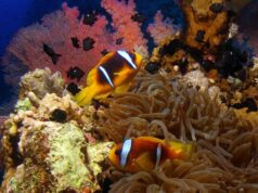 Three-Sport Dascyllus and clownfish