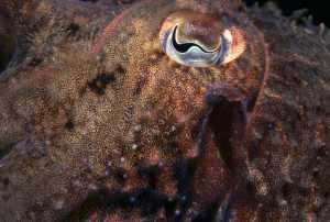 Eye of the cuttlefish