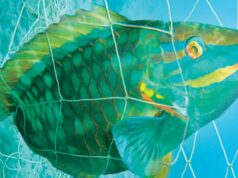 Parrotfish in fishing net