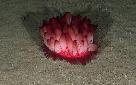 Sea urchin (Phormosoma placenta)