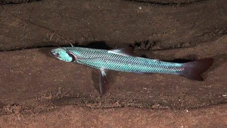 Tripod Fish (Bathypterois dubius)