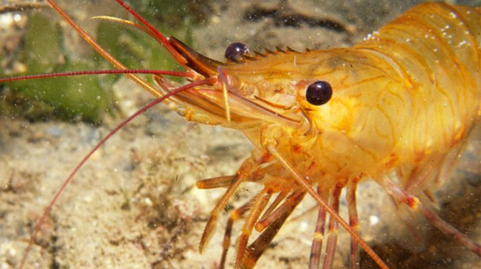 Sex Change Crustaceans Retain Some Masculinity Scuba News