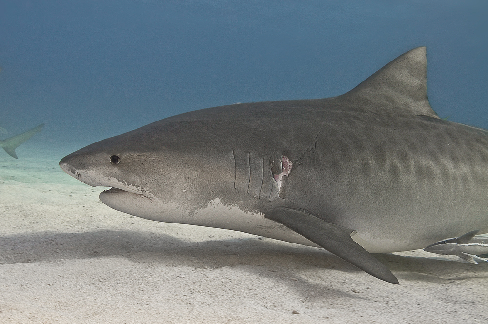 The Travelling Life Of The Tiger Shark Scuba News