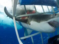 Great white shark grabs diver's air