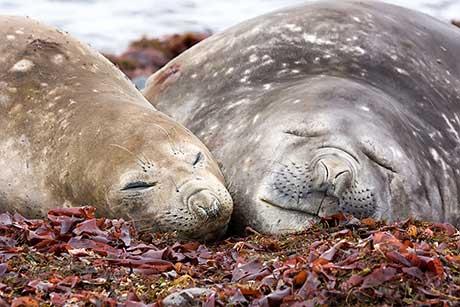 Southern Elephant Seal (Mirounga leonina) by David Cook