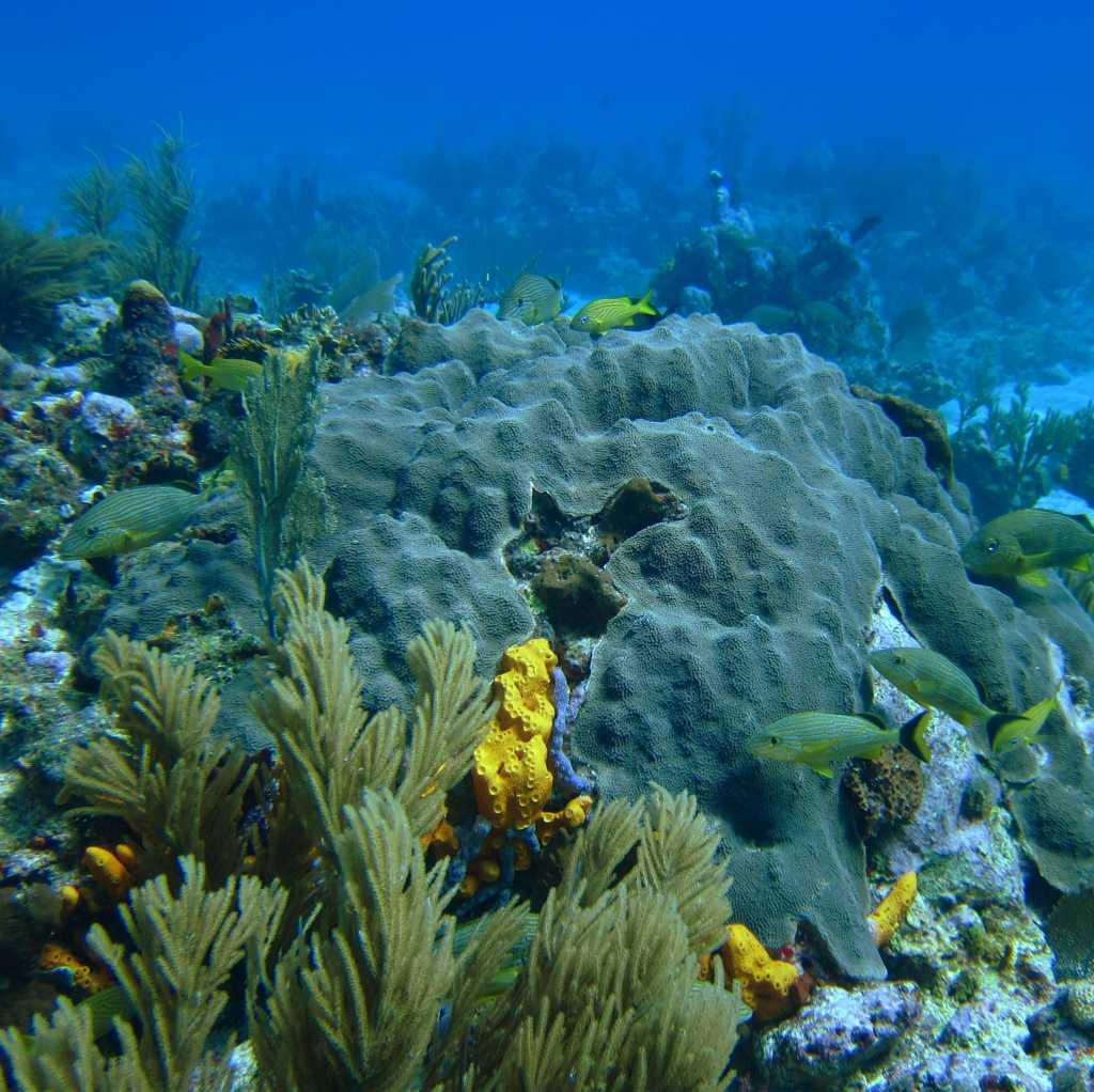 Orbicella faveolata, also known as boulder coral or mountainous star coral,