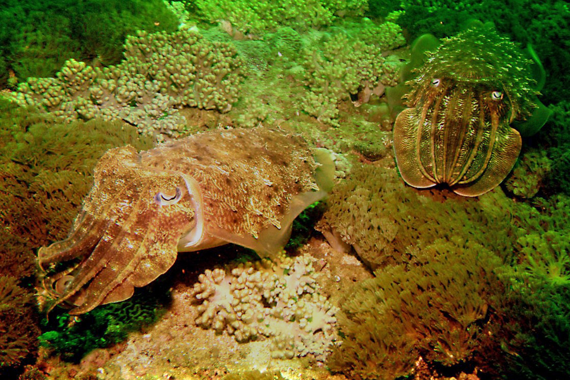 Stealthy Cuttlefish Use Electric Cloaking Scuba News