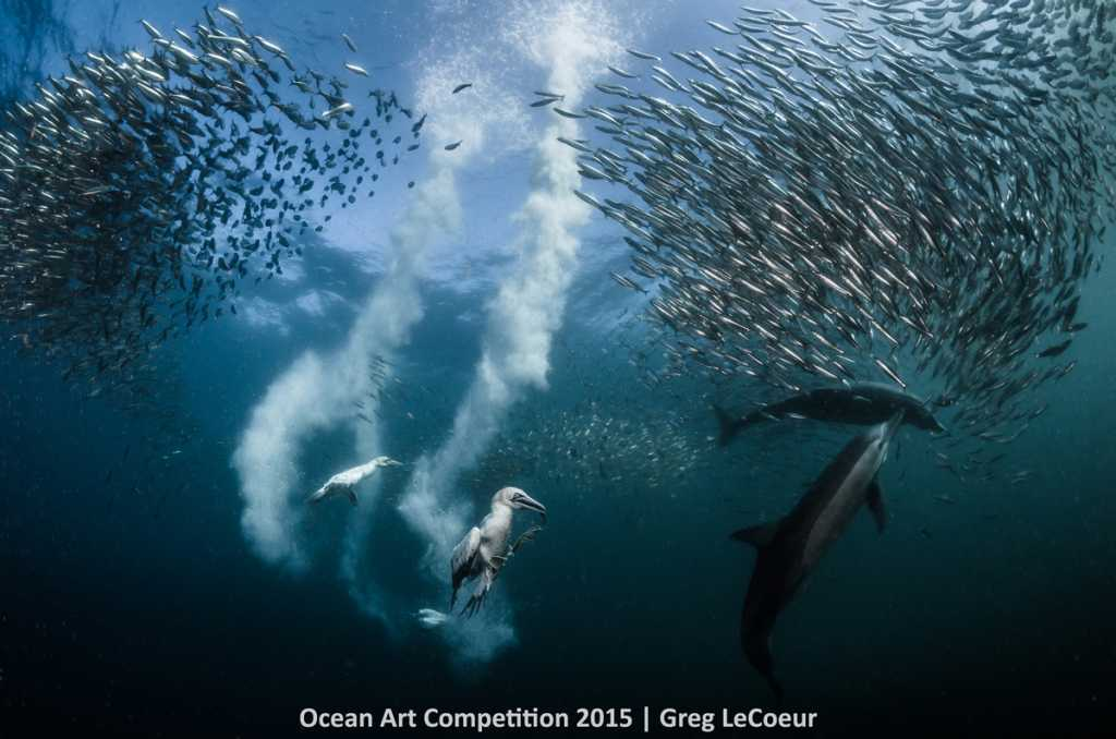 Sardine Run - taken in Port St Johns, South Africa.  Cape Gannet taking advantage of the strategy of the dolphins