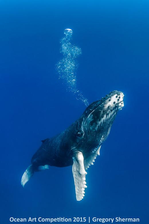 Humback whale calf