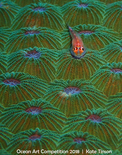 """Red on Green"" Coral Goby on Coral 2nd Place - Kate Tinson Shot in North Sulawesi, Indonesia with Olympus TG4"