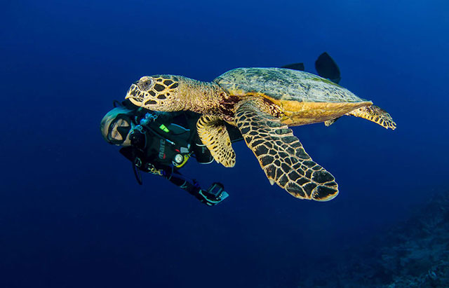 Turtle and diver in French Polynesia
