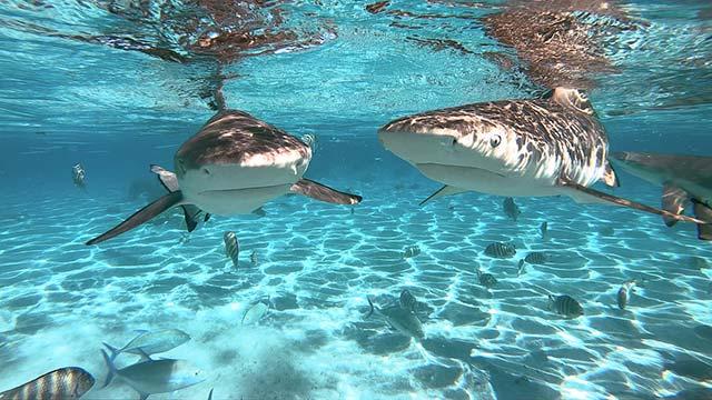 French Polynesia sharks