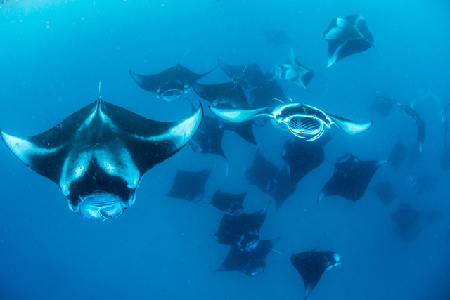 Mantas in Hanifaru Bay