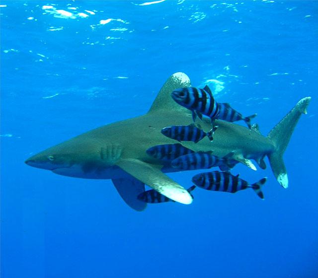 The Oceanic Whitetip Shark (Carcharhinus longimanus) with Naucrates ductor.