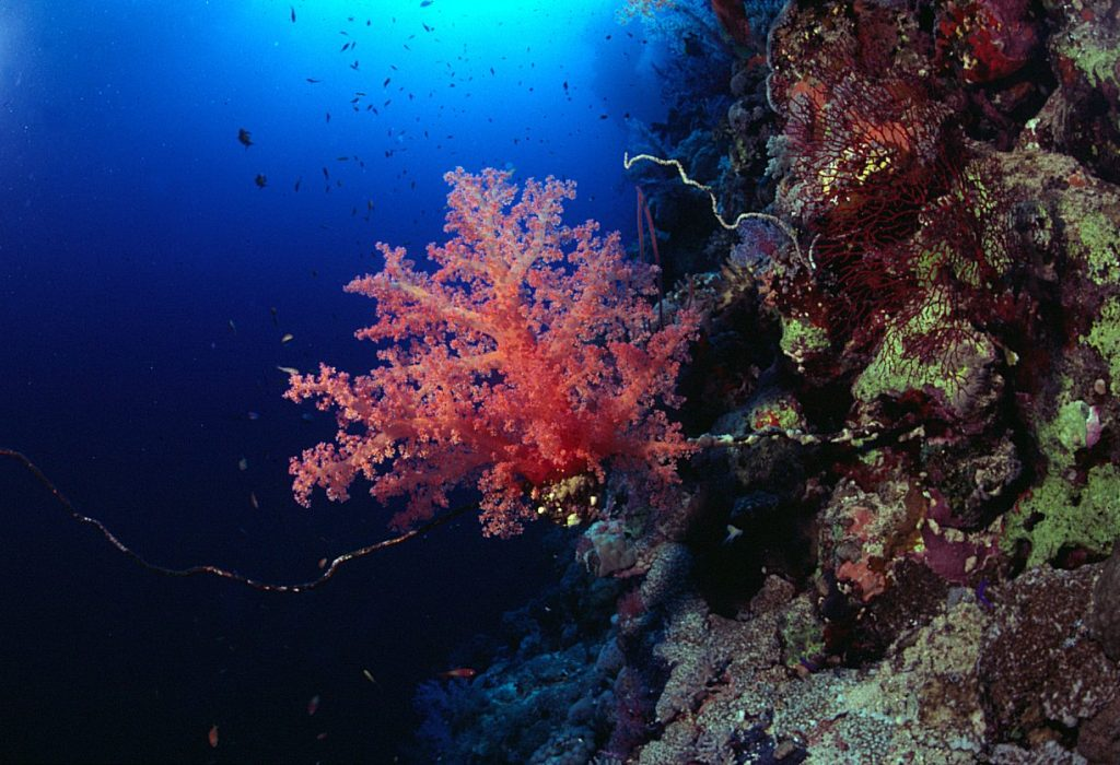 Red Sea coral by Tim Nicholson