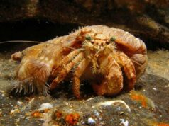 Anemone Hermit Crab, Dardanus species