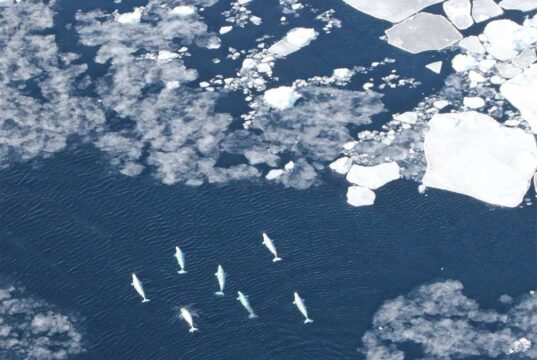 Beluga whales in the pack ice in West Greenland. Ships using the Northwest Passage would travel through Baffin Bay off Greenland's west coast.