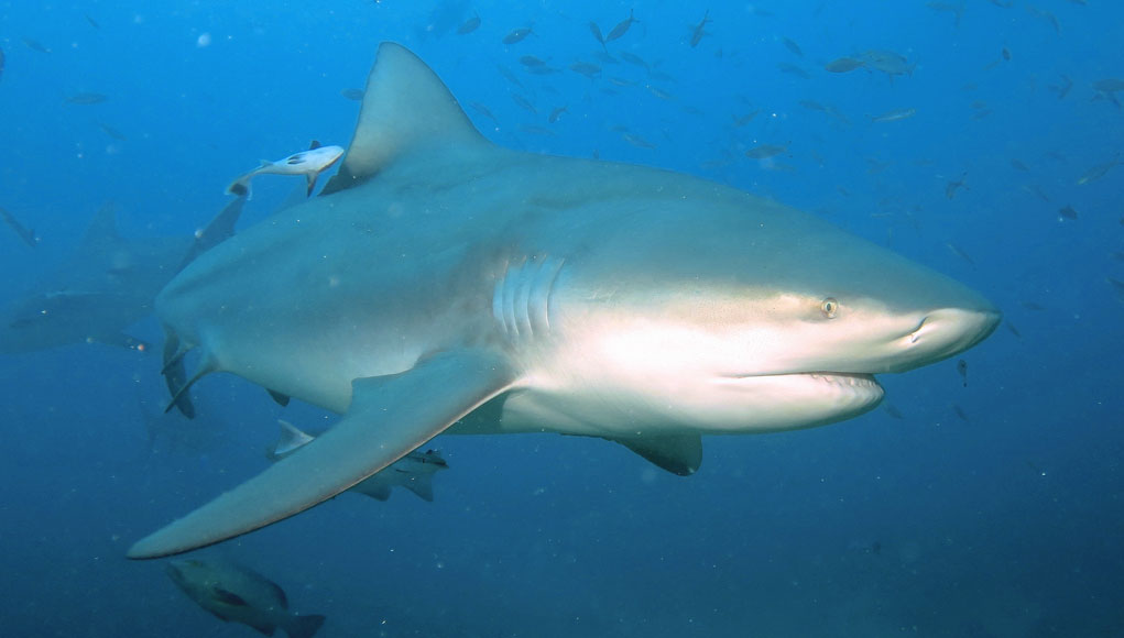 Bull shark wallpaper