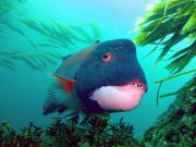 Californian Sheephead
