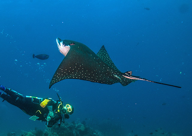 Diver and Eagle Ray