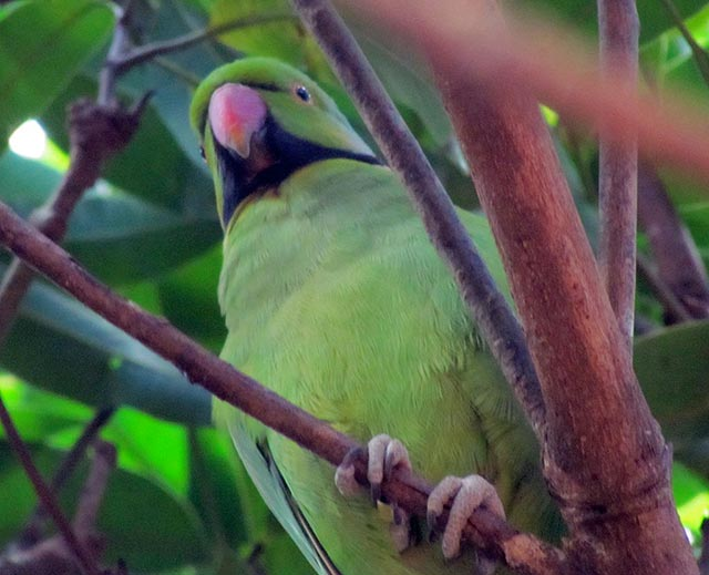 Echo Parakeet (Psittacula eques echo) by Josh Noseworthy
