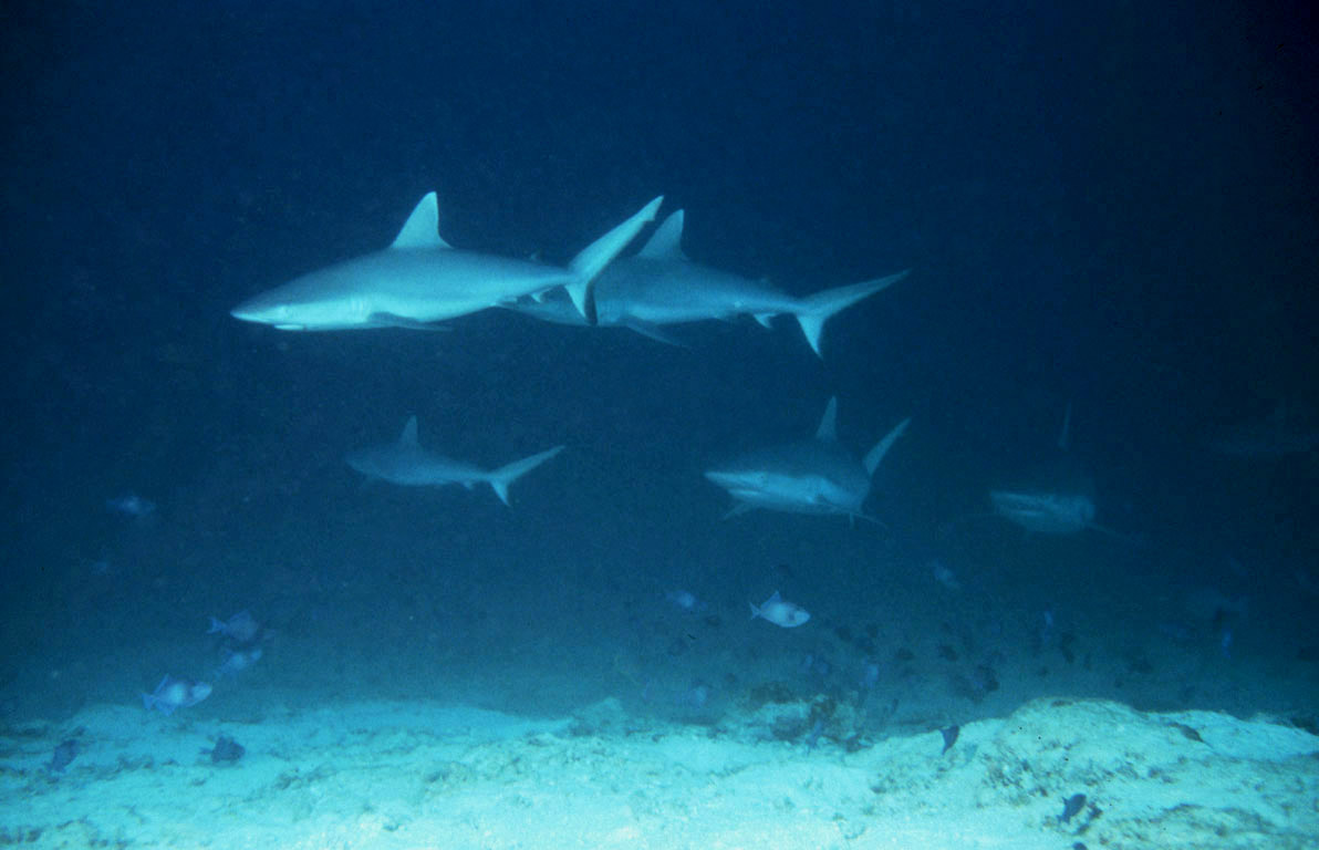Diving With Sharks Good Or Bad Scuba News