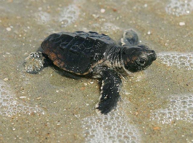 Loggerhead turtle hatchling