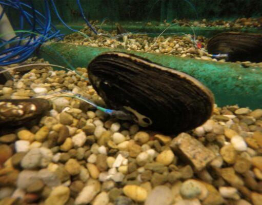 Mussel data acquisition