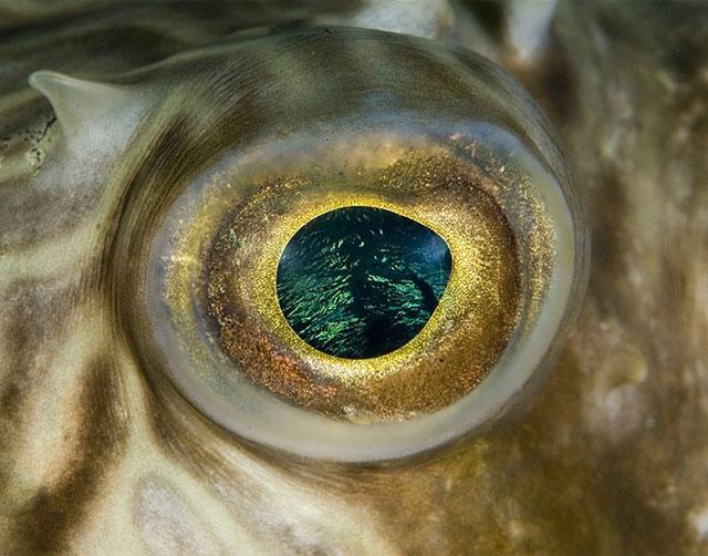 Eye of the pufferfish