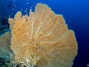 Sea fan - Gorgonia