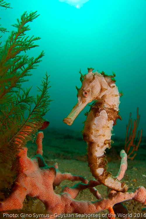 guylian announce underwater seahorse photography competition scuba