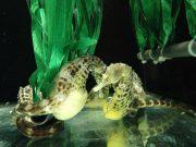 Seahorse mating