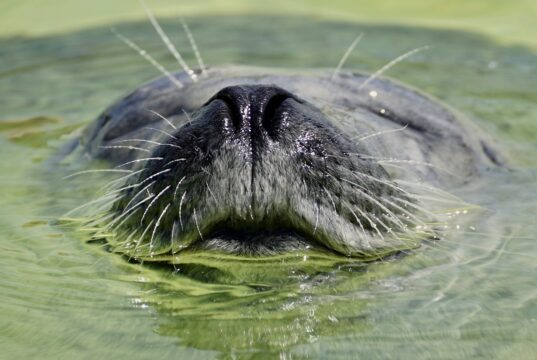 Seal whiskers