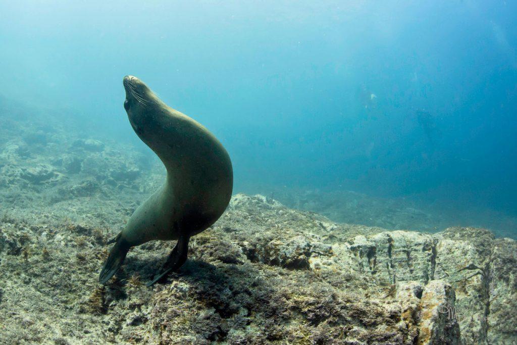Sea of Cortez sealion