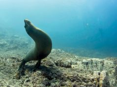 Sea of Cortez sealion
