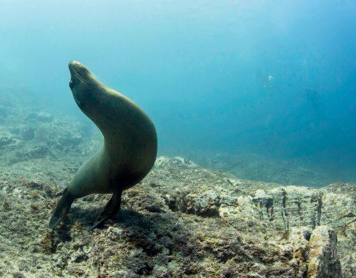 Sealion in the Sea of Cortez, Mexico