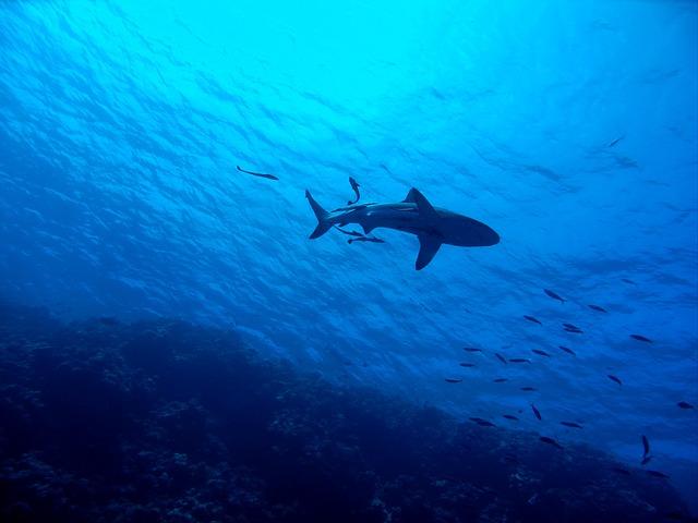 Shark on Barrier Reef
