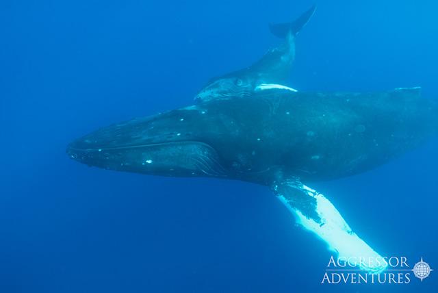 socorro whale calf