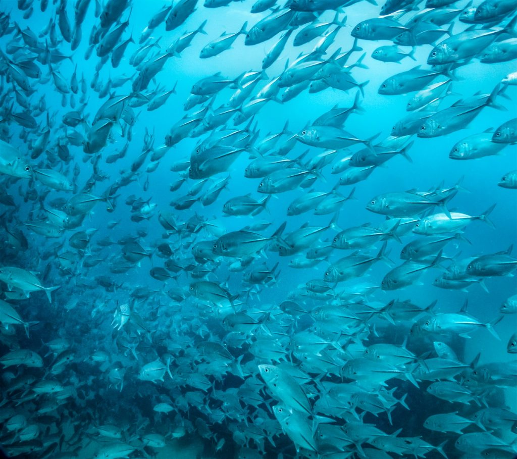 Big schools of Trevallies are a common site at Sipadan. © Nick Melidonis
