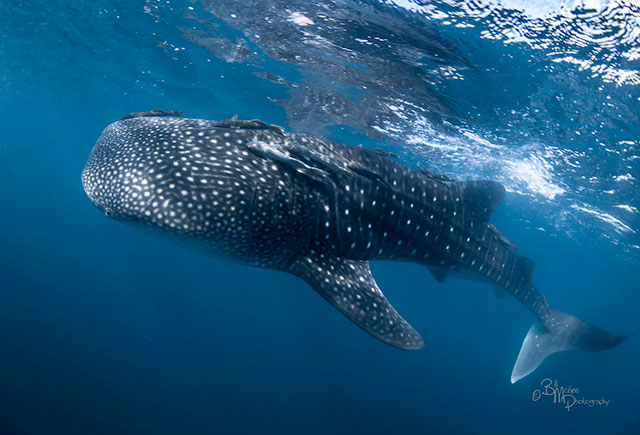 Sea of Cortez whaleshark