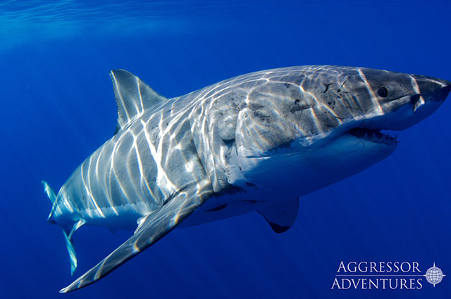 white shark guadalupe